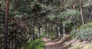 Pinar en el camino de la Barranca